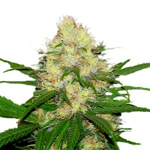 feminized cannabis strains