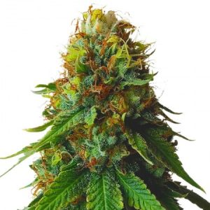 Green Crack feminized strain