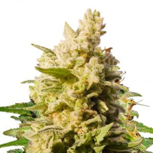 jackberry feminized strain