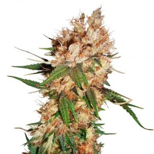 strawberry feminized